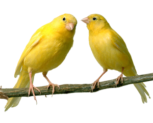 /canary2transparent.png